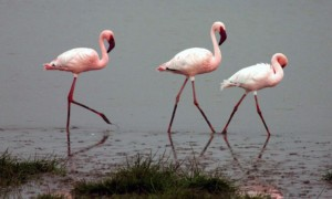 Lake Natron: A Deadly Body of Water Where Lesser Flamingos Thrive